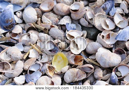 A single yellow jingle shell (Anomiide or Anomia simplex) on top of many different colored seashells and blue mussels at lowtide in long island sound at Silver Sands State Park in Milford Connecticut.