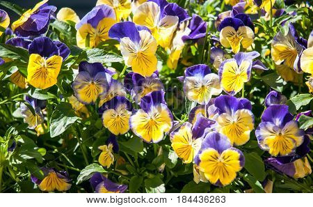 purple and yellow spring flowers in the sun