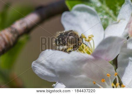 Insect Brantovka Smelly (oxythyrea Funesta)