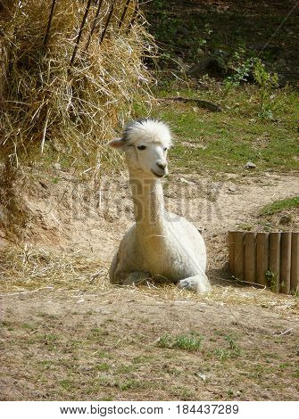 Photo of a white lama resting on the ground