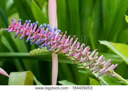 Closeup of Aechmea gamosepala, bromeliad flower in pink purple endemic to southern Brazil in the garden