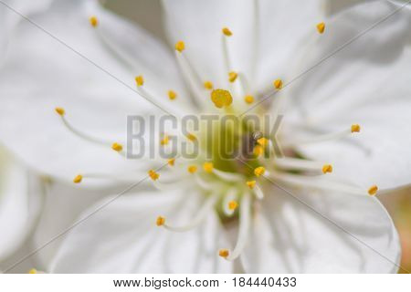 Pistil And Stamens Of The Flower Of The Cherry