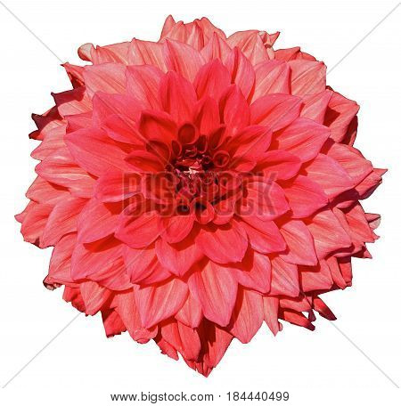 Red dahlia. Isolated on a white background