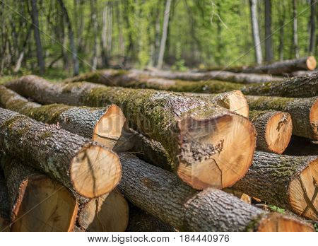 Felled  stack oak trunks in the forest.