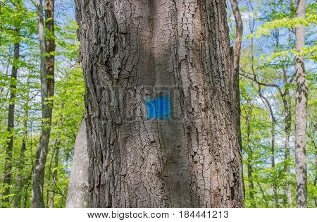Old oak tree marked with blue paint in the woods.