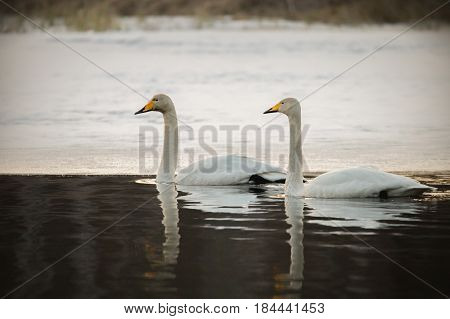 Couple of whooper swans swimming in nearly frozen river in spring-time