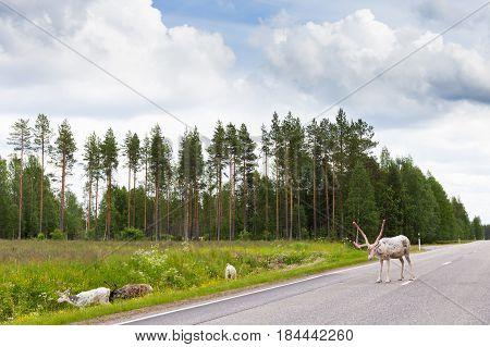 Reindeers on the road in Finland. Scandinavia landscape