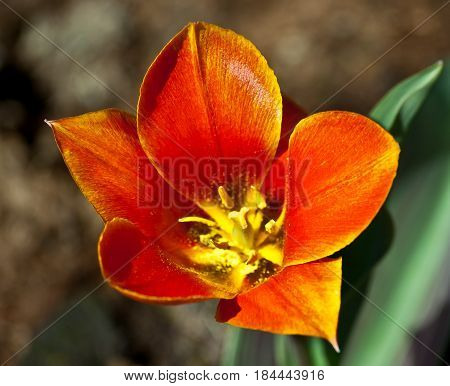 one red tulip with a yellow core full of flowering, uncovered, a botanical garden, sunlight, bright, leaves in a lilac vein, growing naturally on the ground in a bed, selection, close-up,