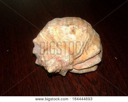 Shell - an external protective skeletal formation Used when creating various items. Seashells quite often appear in the world