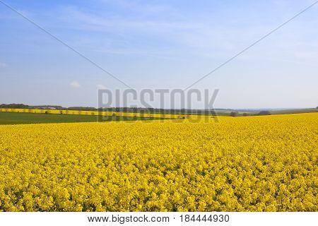 Bright Yellow Oilseed Rape Crop