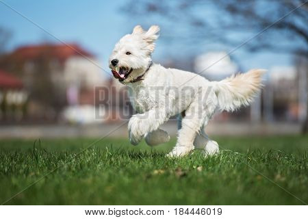 happy mixed breed dog  running outdoors in summer