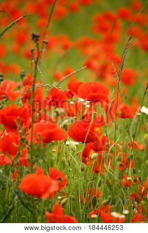 Field full of red poppies flowers in summer
