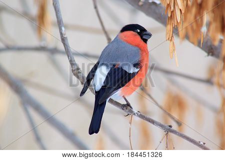 Eurasian bullfinch sits on a branch tree in spring forest. Closeup.