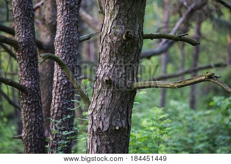 Bark of pine tree. Pine tree in the forest. Natural background of tree. Tree in forest. Summer tree