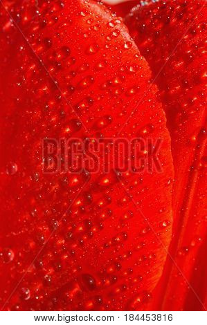 Red petal of a tulip. Macro photo of petal. Drops on a flower. The natural texture of red petal