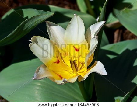 one white tulip grows in a botanical garden, close-up, a yellow core and red tick marks, on each petal is closer to the center, a sunny day, a spring beautiful flower