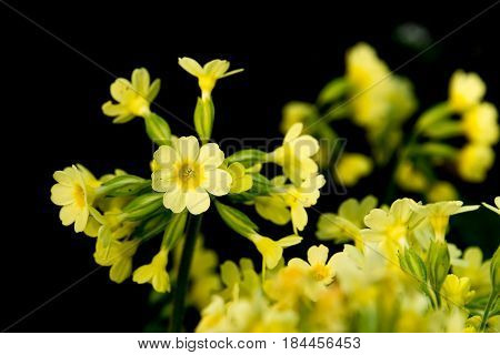 Close-Up Portrait of a blossoming true Oxlip, one of the first springtime blossoming plants in germany