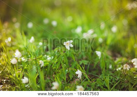 The First Spring Flowers Are Snowdrops In The Forest. Photo Of Close-up Of White Snowdrop