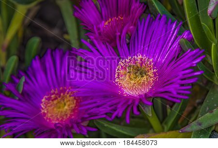Group of carpobrotus edulis flowers bee modestus