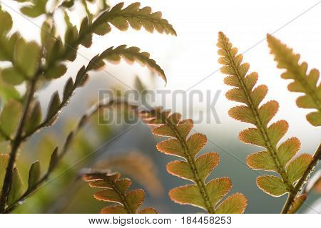 Brilliance Autumn Fern Close-up of Leaves in Spring