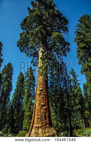 Gigantic Sequoia Redwood Trees In Mariposa Grove.