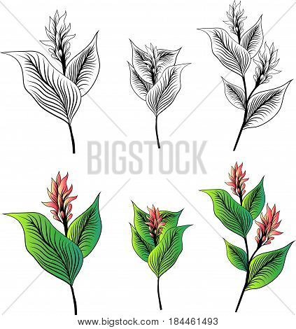 Illustration of Turmeric Flower Drawn Collection Over White