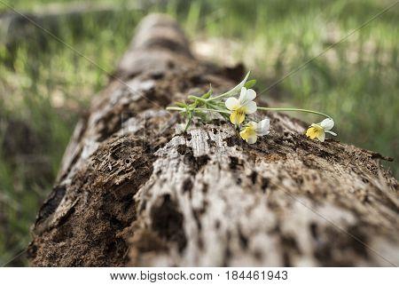 Old moss-grown fallen tree trunk lies horizontally