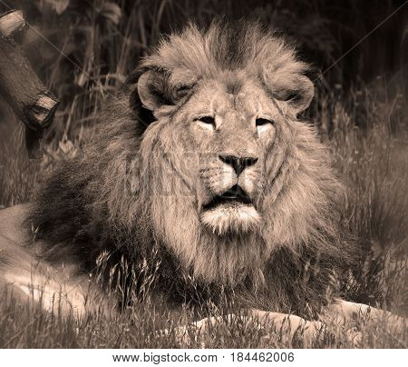 Male lion: Highly distinctive, the male lion is easily recognized by its mane, and its face is one of the most widely recognized animal symbols in human culture.