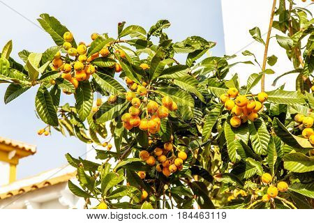 Eriobotrya Japanese, Or Medlar Or Loquat, Or Sesac (lat. Eriobotrya Japonica) With Ripe Fruits