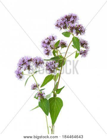Flowering  Oregano (Origanum vulgare) isolated on a white background