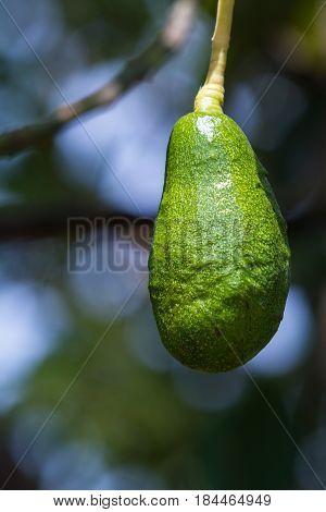 Immature Avocado On The Tree