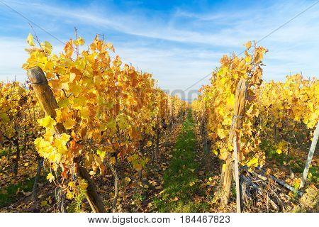 Landscape with yellow autumn vineyards of Route des Vin, France, Alsace