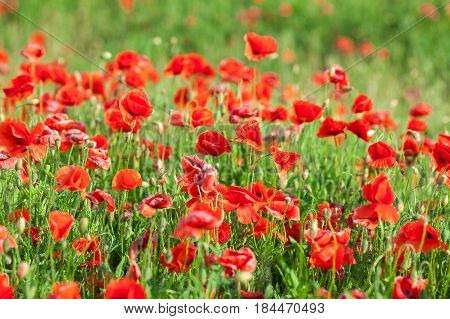 Poppy farming, summer, nature, agriculture concept - industrial farming of poppy flowers - close-up on flowers and stems of the red poppies field. Sunny red flowers background.
