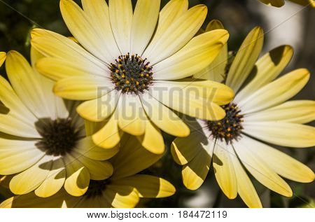 A groups of yellow daisies under warm spring sunlight