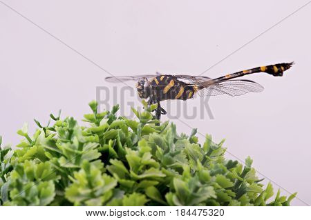 Beautiful nature scene close-up or Macro picture of dragonfly. Dragonfly on decoration plant on white background
