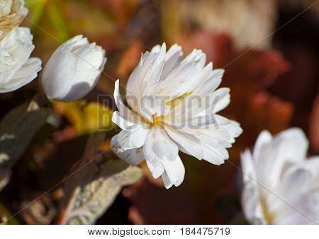 several plants, two open and two buds, white, unusual, beautiful flowers, fluffy, selection, grow in a botanical garden, sanguinaria canadensis