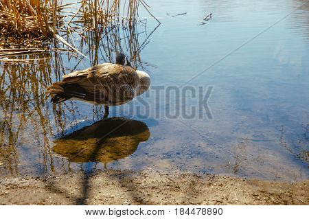goose sleeping in the water. Canada goose stands in the water and hides the head under the wing. springtime, copy space for your text