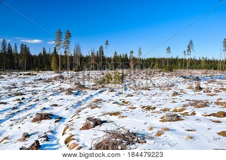 Stumps Of Windfall In Pine Forest. Leningrad Region, Orekhovo