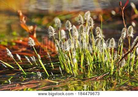 Blooming Cottongrass On The Lake Water In Early Spring. Eriophorum Vaginatum