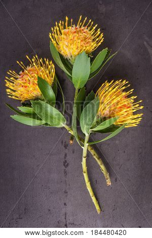 Yellow leucospermum cordifolium flower (pincushion protea) on black concrete background