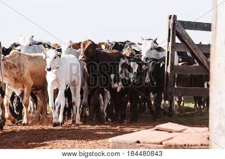 Cattle: Calves Entering The Corral After Weaning