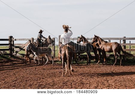 Cowboys Managing The Farm Animals In A Corral