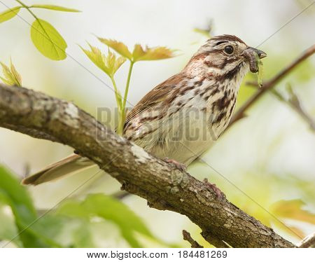A Song Sparrow (Melospiza melodia) with caterpillar prey to feed to young