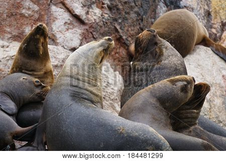 A cluster of 7 sea lions on hanging out the cliffs in the Ballesta Islands