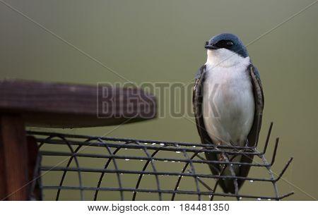 Tree Swallow (Tachycineta bicolor) on a nest box with a predator guard