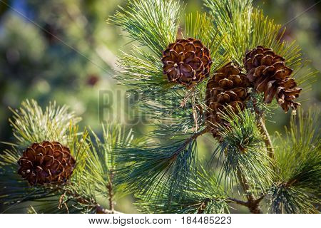 four cone on spruce branches, a view from the bottom up, a piece of blue sky in the left corner, spring, summer,beautiful view, bright day, sunny