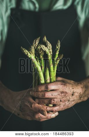Bunch of fresh uncooked seasonal green asparagus in dirty man's hands, selective focus, vertical composition. Gardening and local farmer's market concept