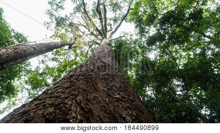 Giant  Tree , Large tree in the jungle