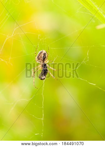 Spider On Web With Big Body Eating Fly