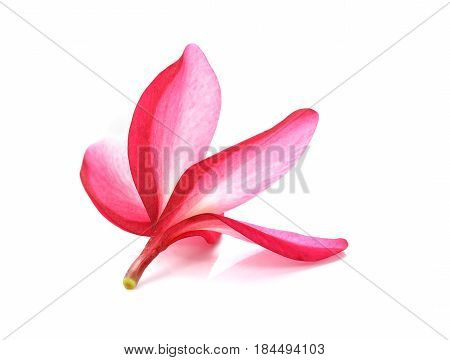 Frangipani flower isolated on white Pink Frangipani flower